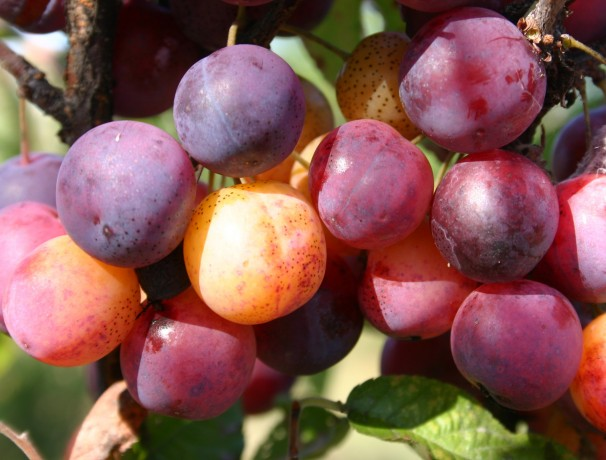 FIVE FRUIT AND NUT TREE COMBO