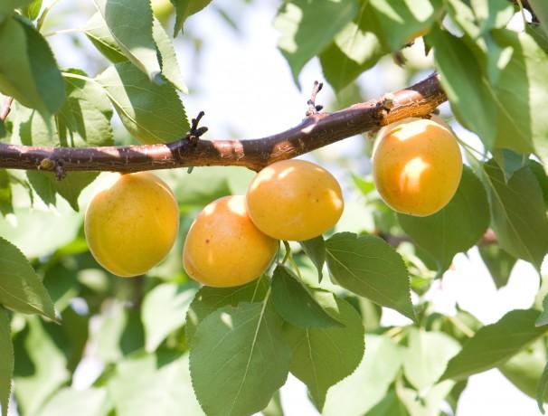 Heirloom Apricot Seeds