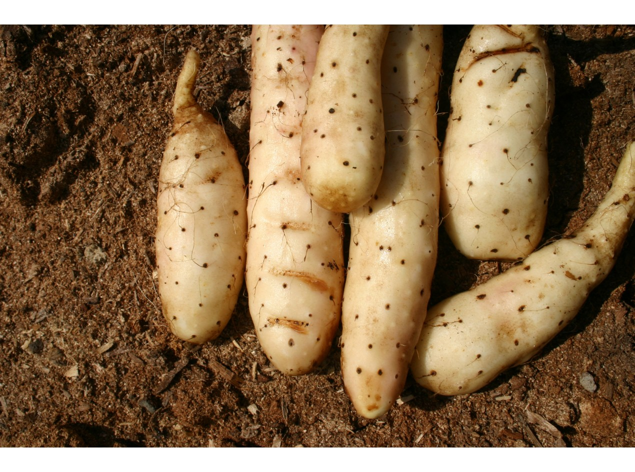 Chinese Mountain Yam Roots