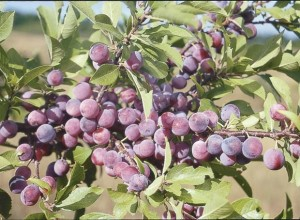 Nana Beach Plum