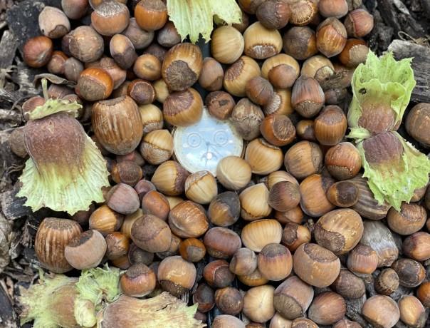 Precocious Hazelnut Seeds