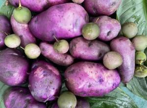 Perennial Perpetual Diversity Potato Tubers and Seeds