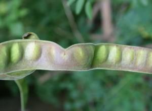 Big Pod Hershey Honeylocust