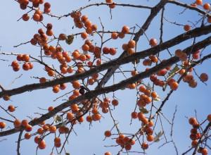 American Persimmon Seeds