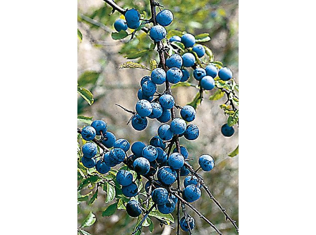 Sloe Plum Seeds
