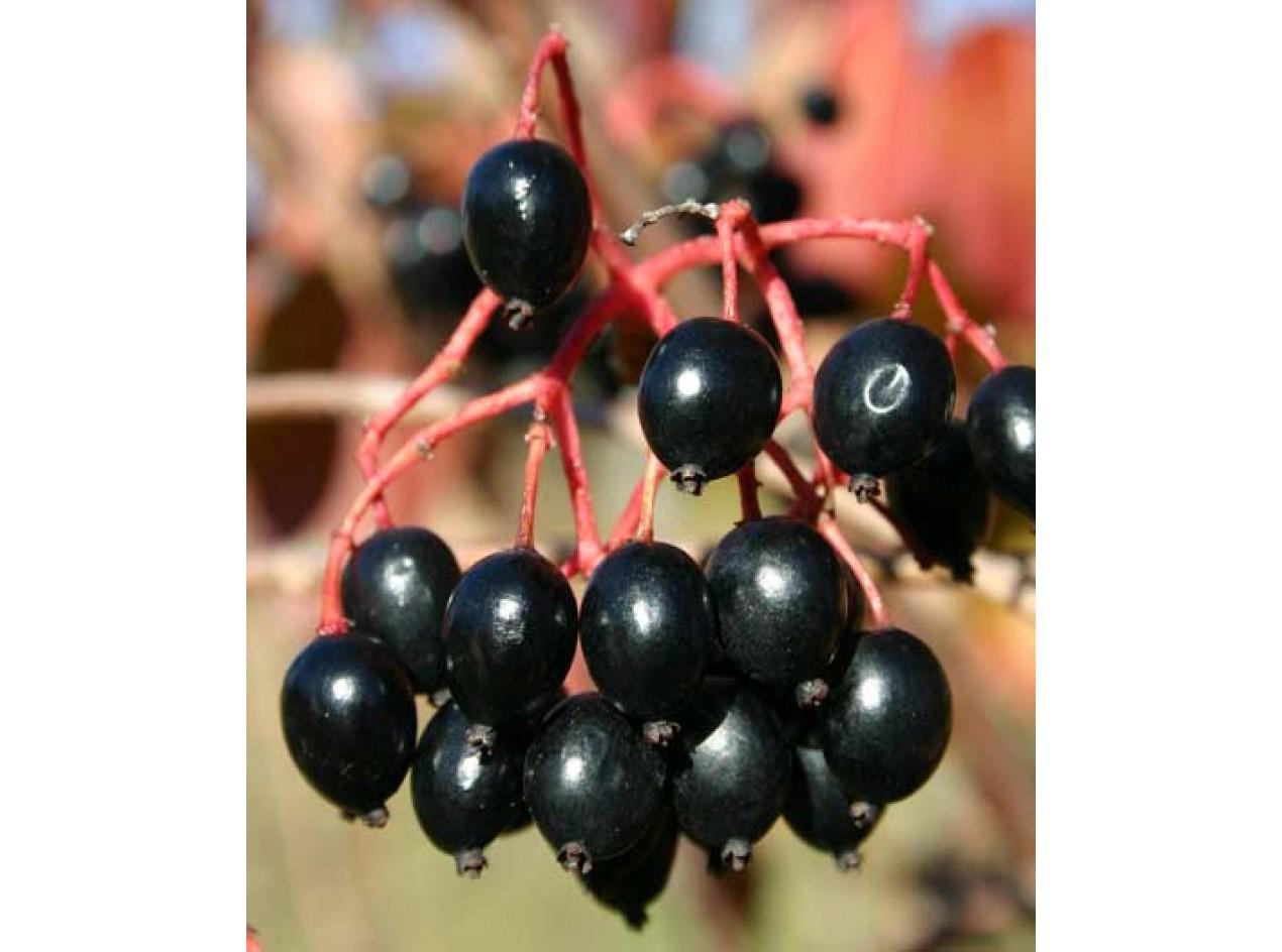 Blackhaw Viburnum 'Iowa' Seeds