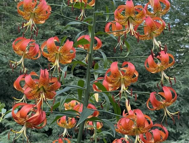 Michigan Lily Iowa