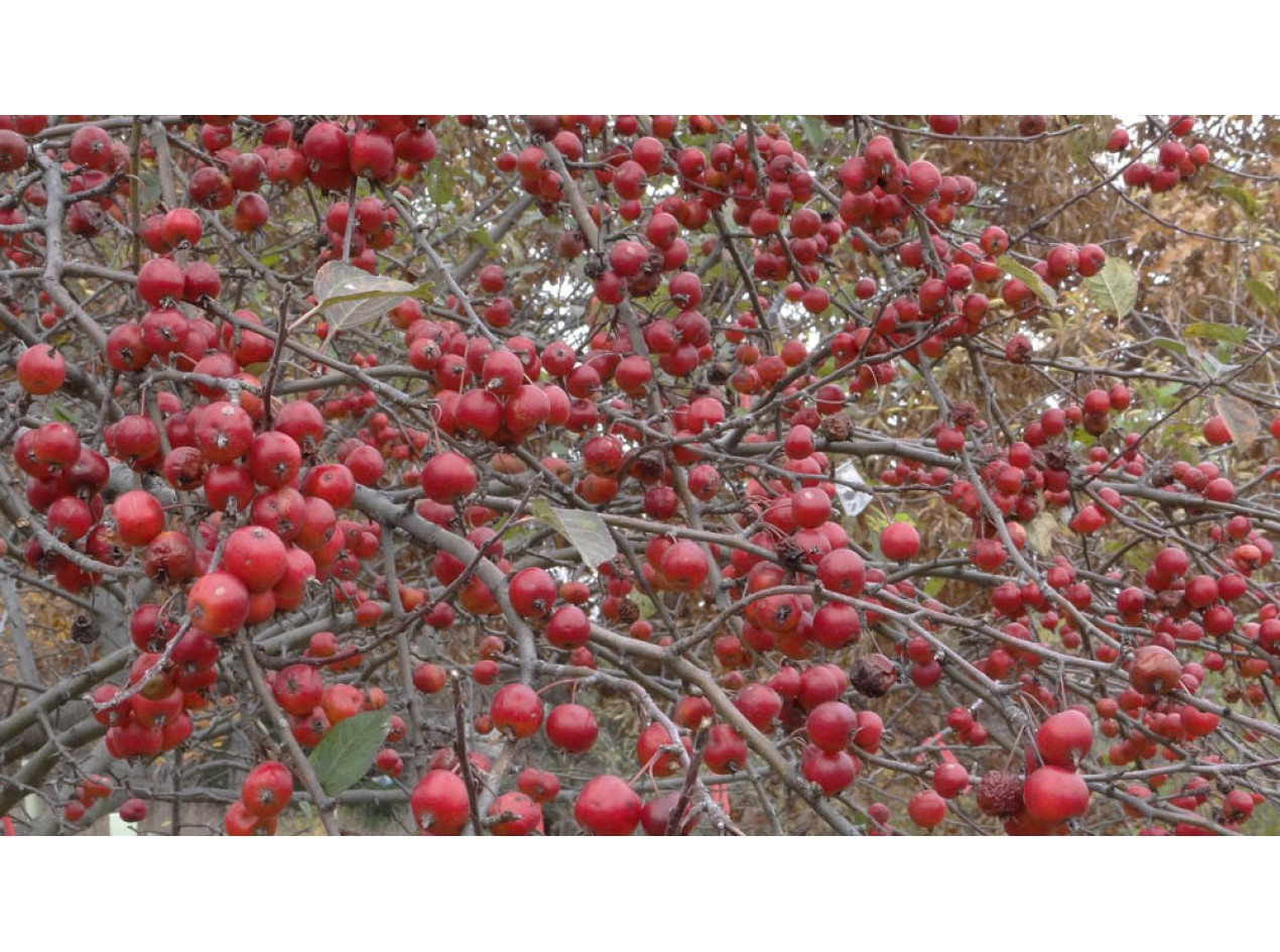 Hewes Crabapple Seeds
