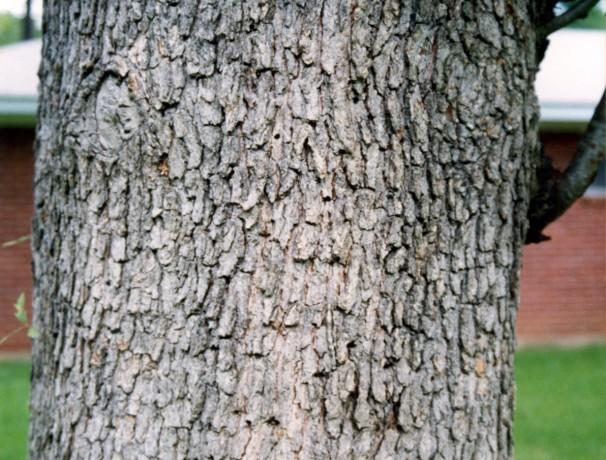 Comptons Oak