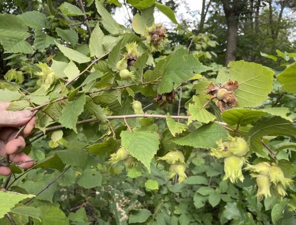 Dwarf American Hazelnut Seeds