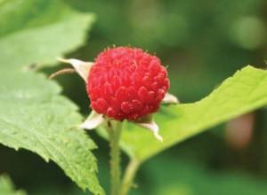 Pink Thimbleberry Seeds