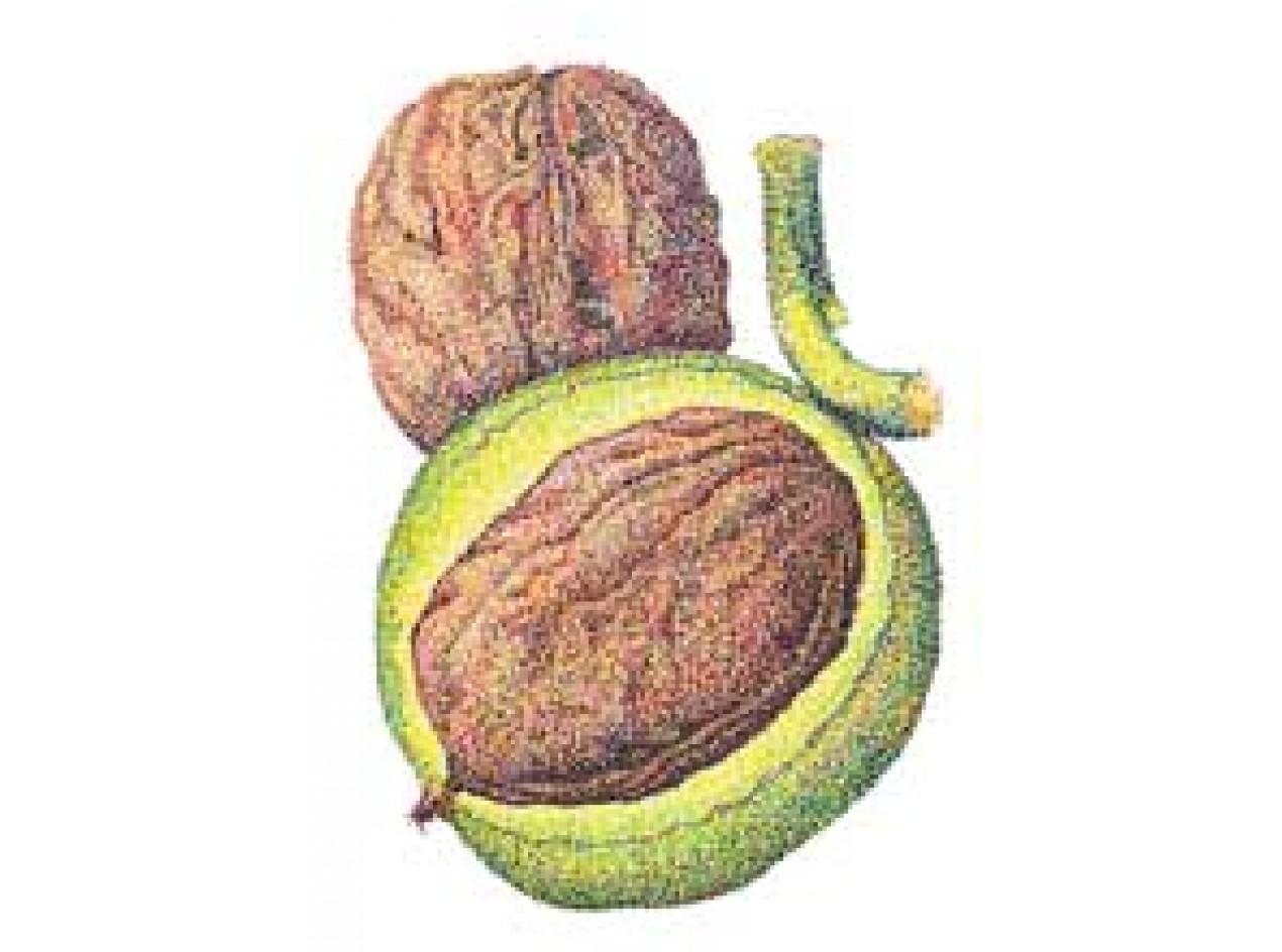 Manregion English Walnut