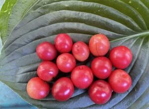 Gooseasaw Plum Seeds