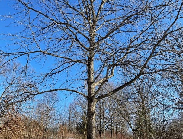 Manna Oak