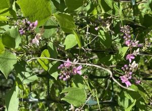 Wild Bean Seeds