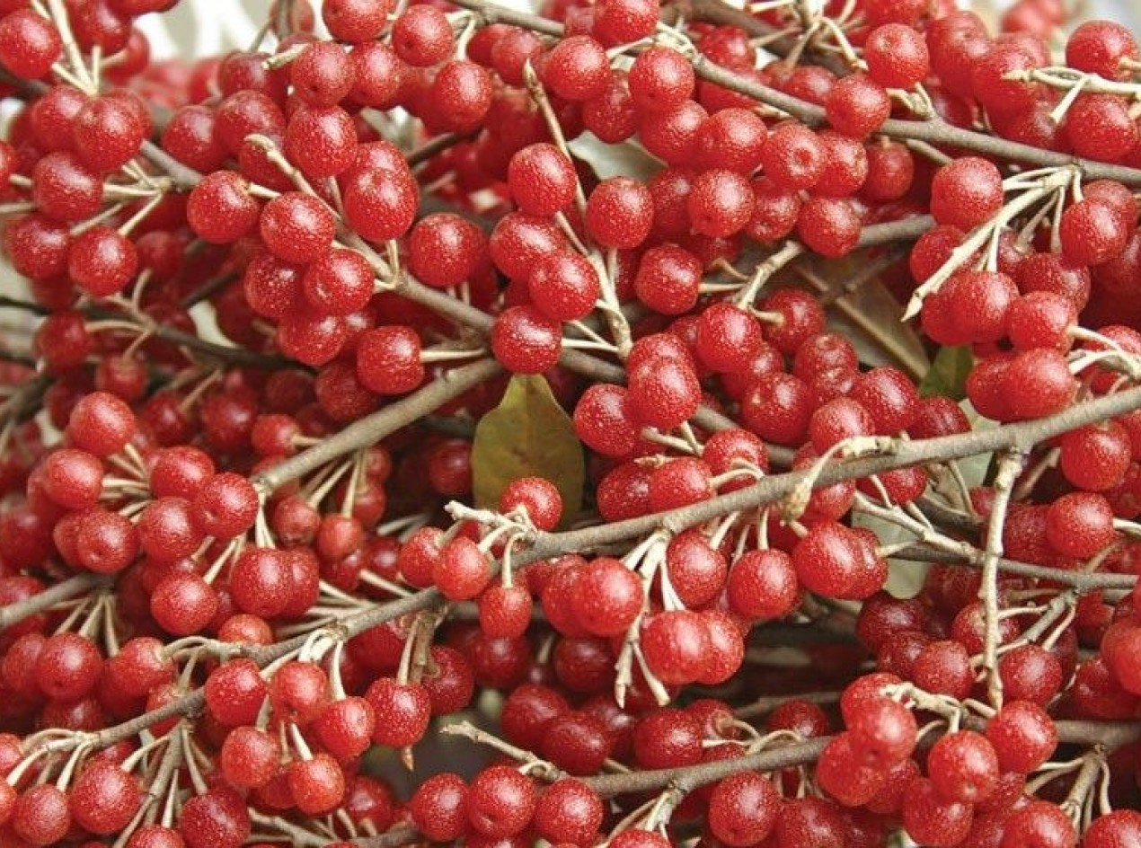 Cluster Autumnberry Seeds