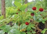 European Woodland Strawberry