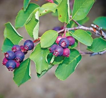 Sweet Blue Juneberry