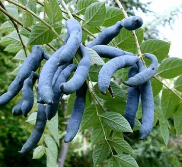 Blue Bean
