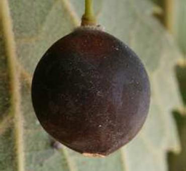 Lotus Berry