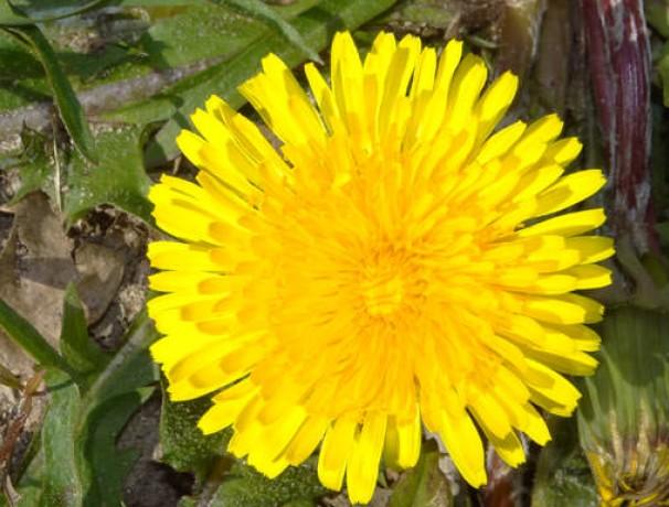 Vollherzigen Dandelion