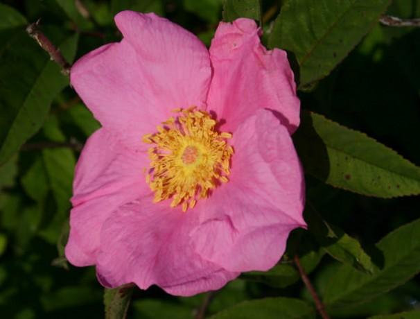 Wanigas Swamp Rose