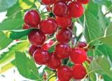 Mont Sour Cherry