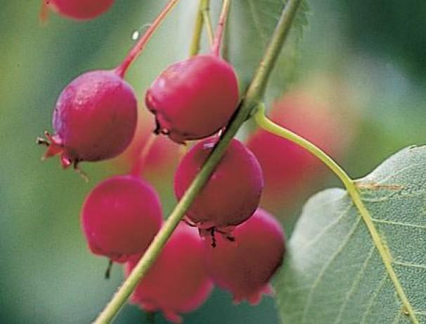 Tree Serviceberry