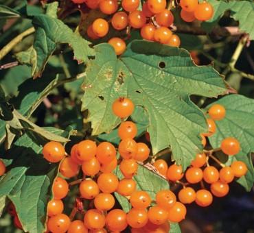 Flava American Cranberrybush