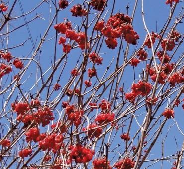 Fruitfull American Cranberrybush