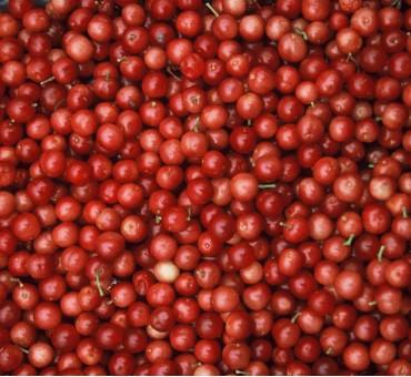 Fruitfull American Cranberrybush Seeds