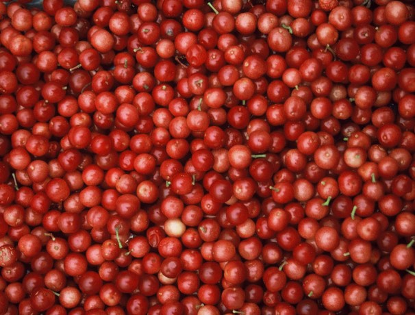 Fruitfull American Cranberrybush Seeds