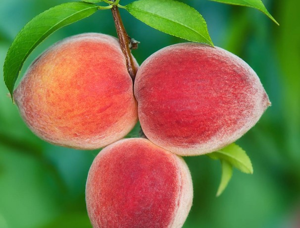 Mackinaw Peach