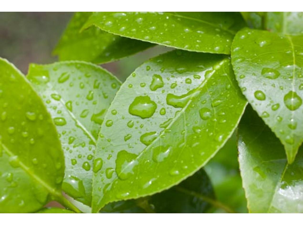 Small Leaf Green Tea
