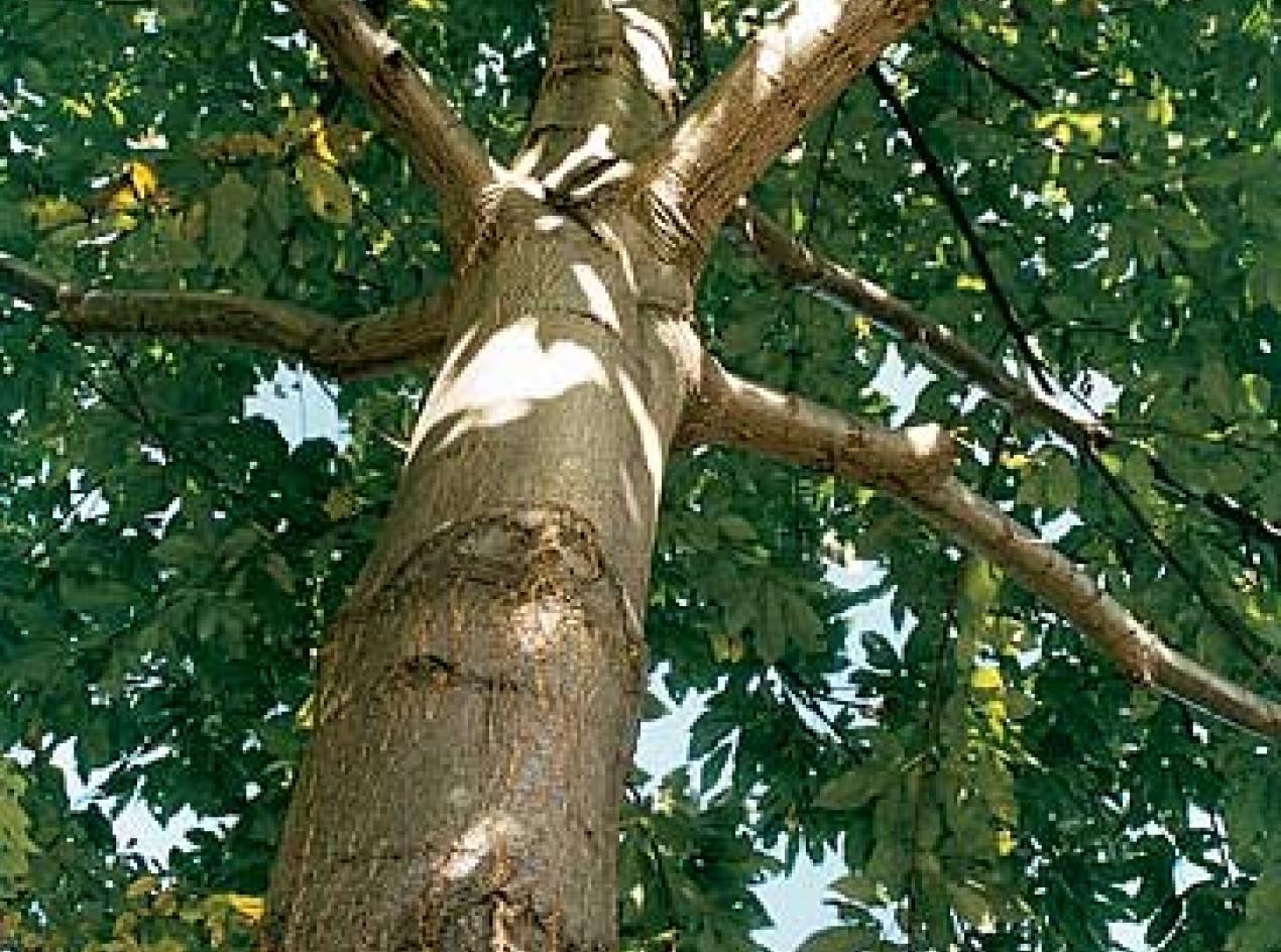 Timburr Chestnut