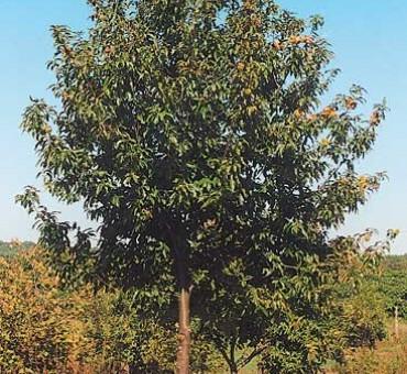 American Hybrid Chestnut