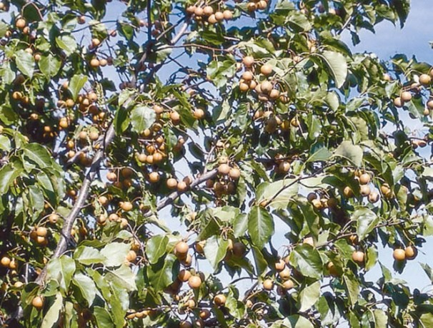 Lecont Pear Seeds
