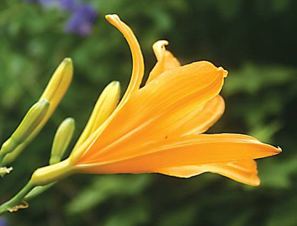Mountain Daylily