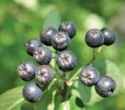 'Nero' Black Chokeberry