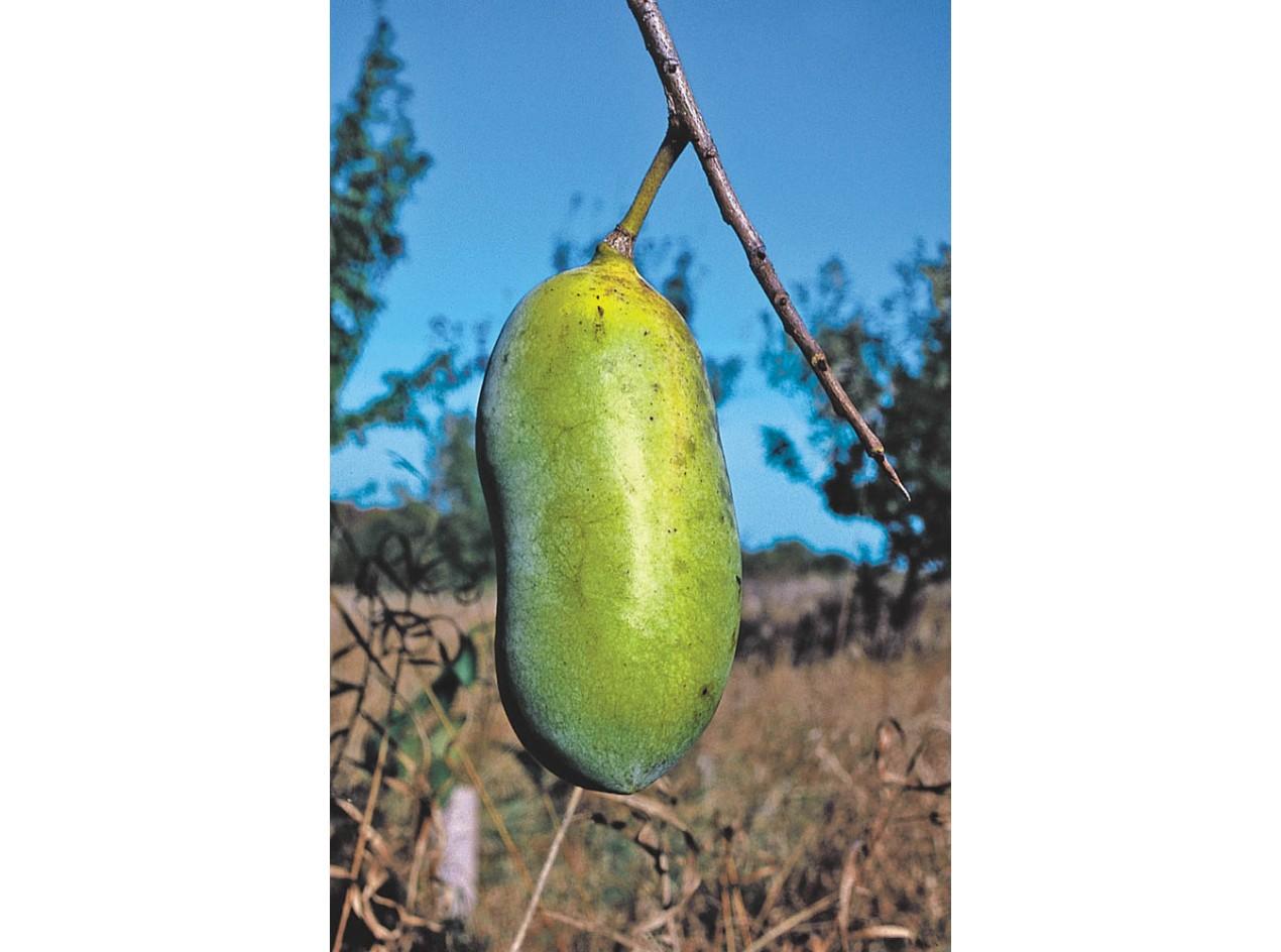 Pawpaw Seeds