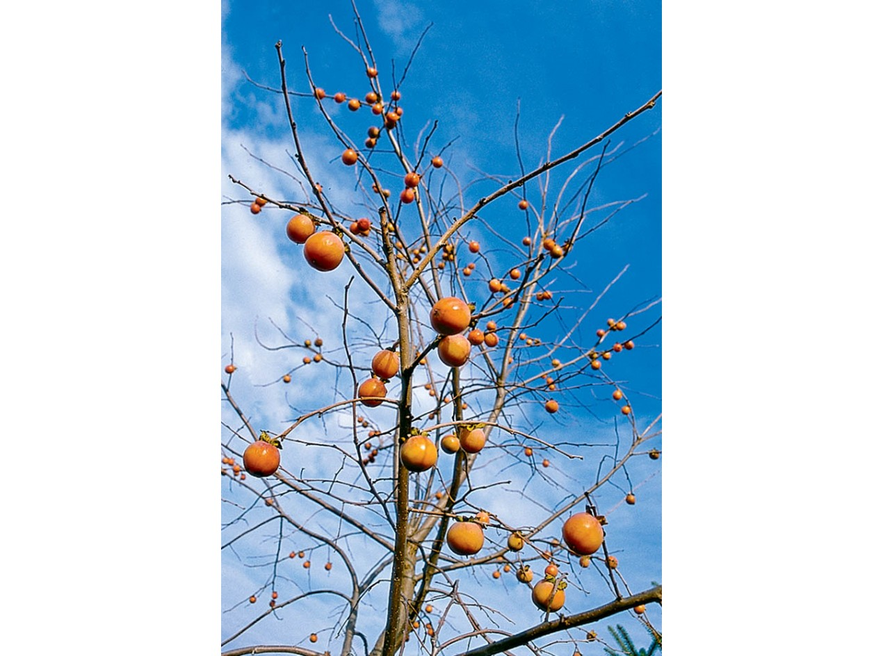 American Persimmon Seeds