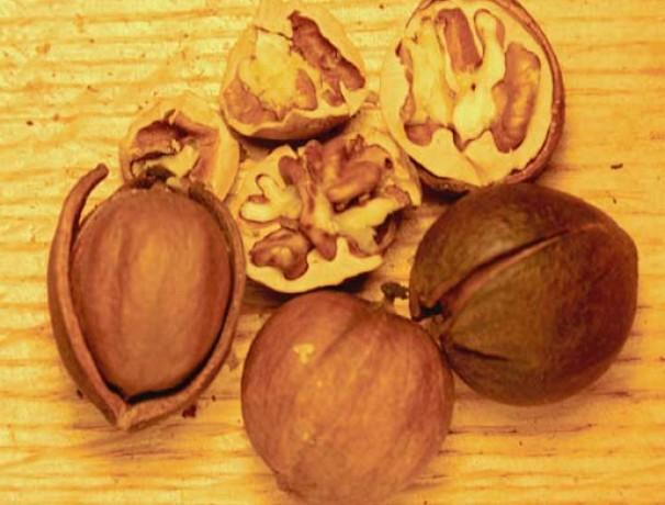 Sweet Pignut Hickory