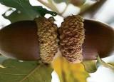 Bebbs Oak