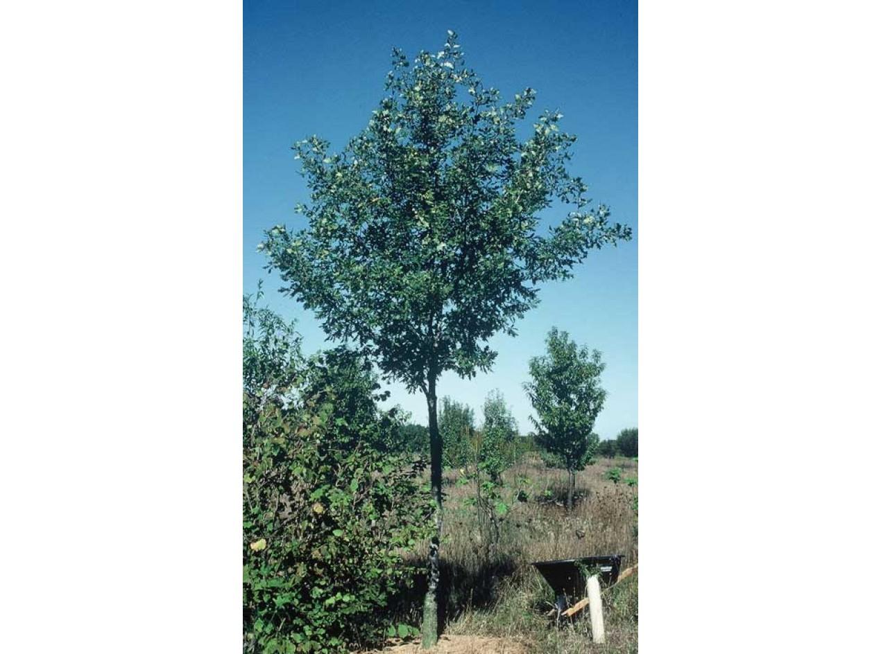 Bimundors Oak