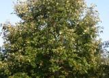 Burenglish Oak