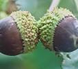 Schuettes Oak