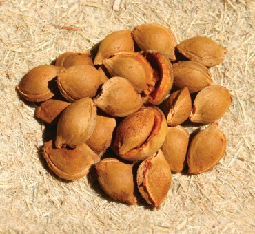 Siberian Apricot