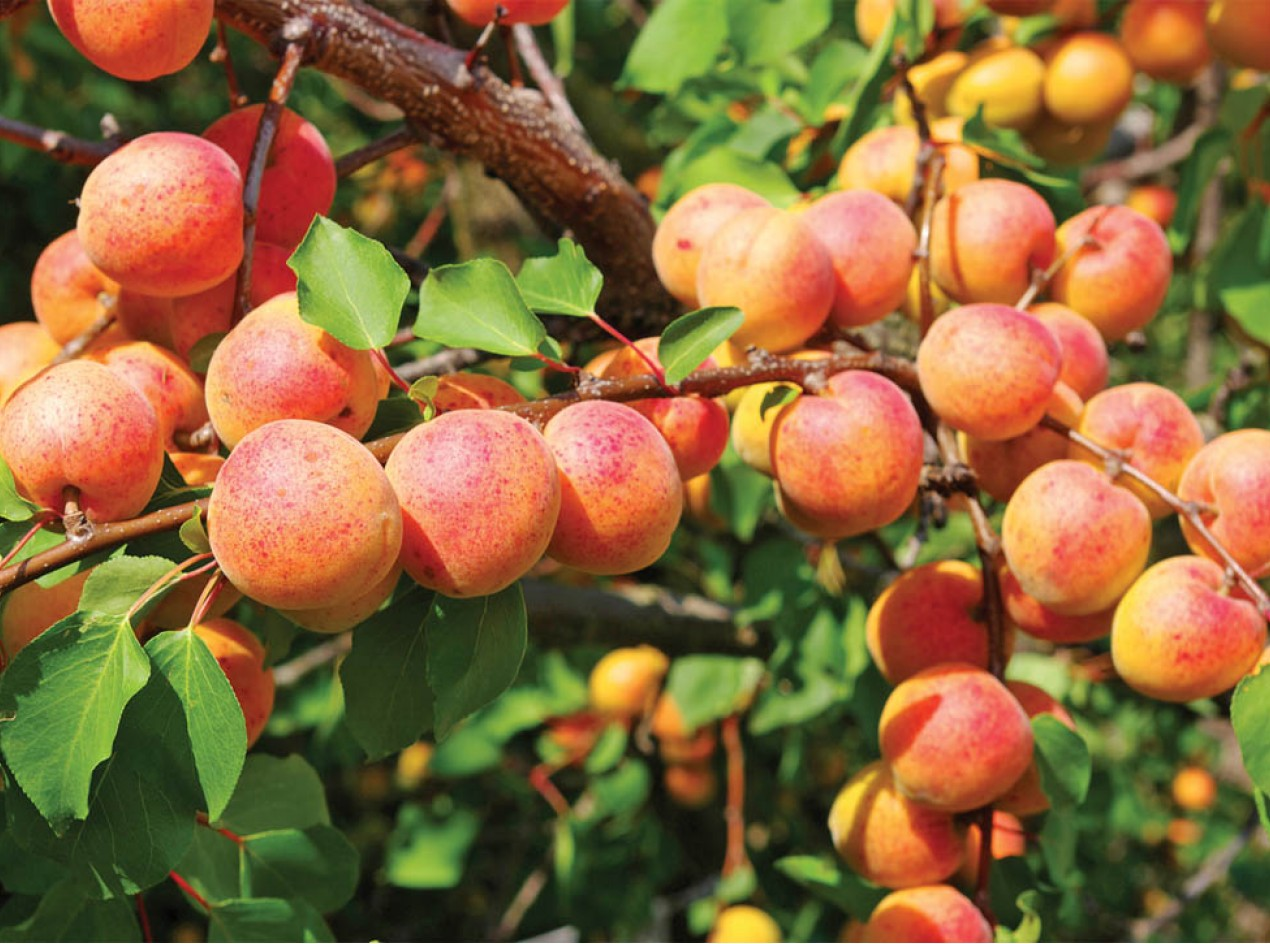 Northern Prairie Apricot