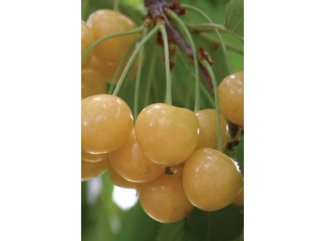 Wild Yellow Sweet Cherry