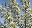 Almond-leaf Pear